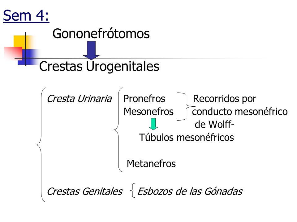 Sem 4: Gononefrótomos Crestas Urogenitales