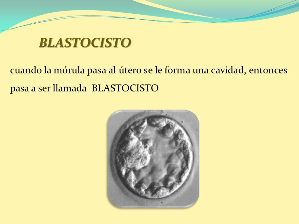 BLASTOCISTO cuando la mórula pasa al útero se le forma una cavidad, entonces pasa a ser llamada BLASTOCISTO.