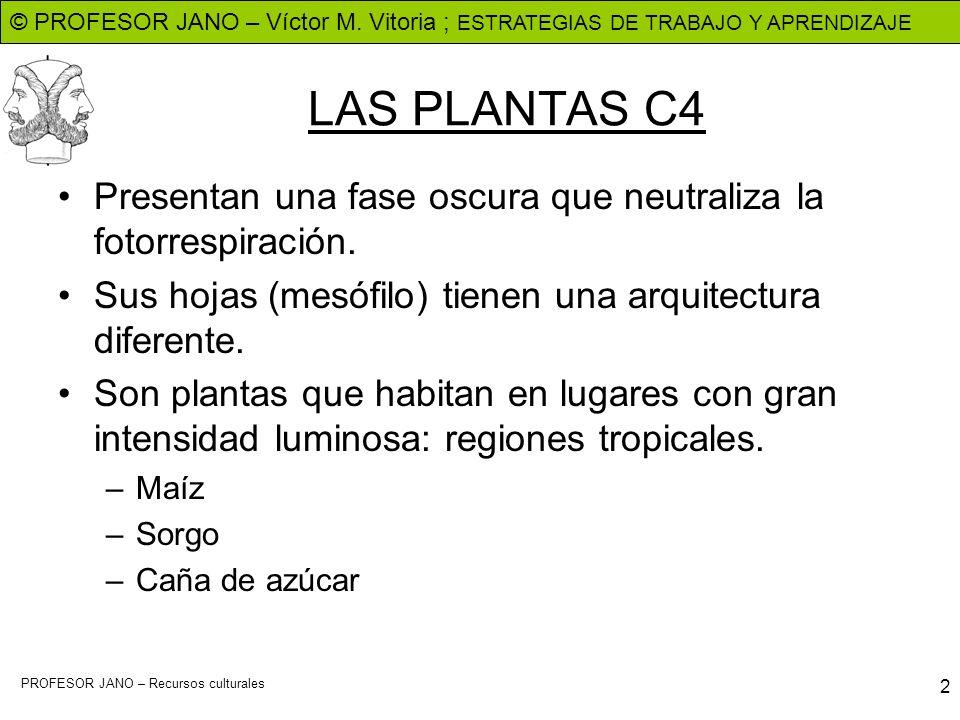 LAS PLANTAS C4Presentan una fase oscura que neutraliza la fotorrespiración. Sus hojas (mesófilo) tienen una arquitectura diferente.