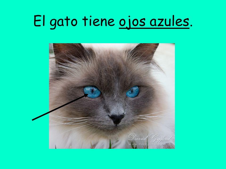 El gato tiene ojos azules.