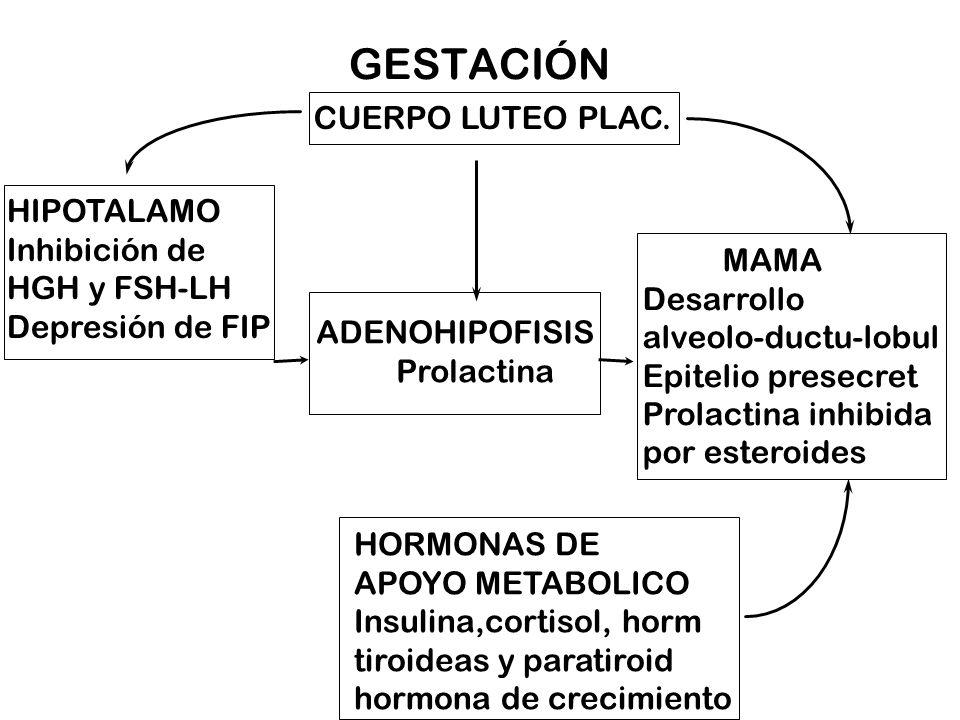 GESTACIÓN CUERPO LUTEO PLAC. HIPOTALAMO Inhibición de HGH y FSH-LH