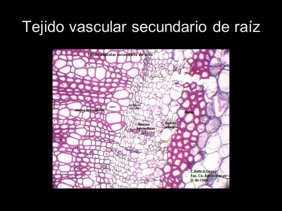 Tejido vascular secundario de raíz