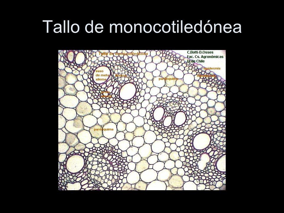 Tallo de monocotiledónea