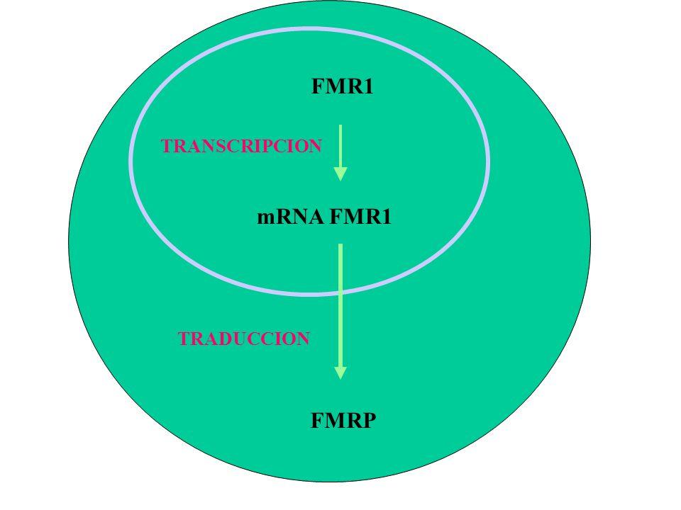 FMR1 TRANSCRIPCION mRNA FMR1 TRADUCCION FMRP