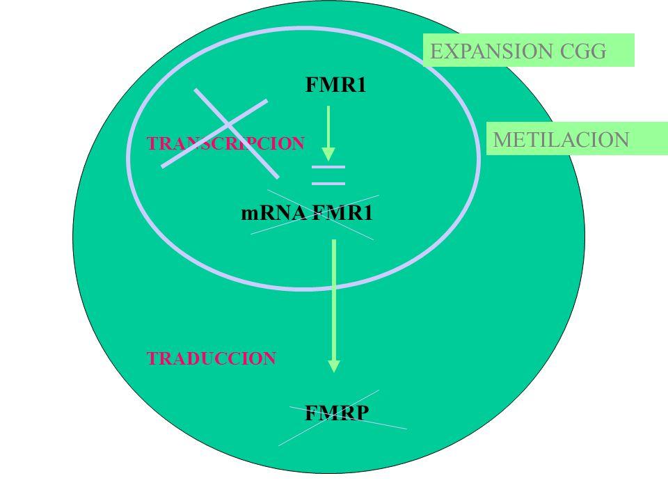 EXPANSION CGG FMR1 METILACION TRANSCRIPCION mRNA FMR1 TRADUCCION FMRP