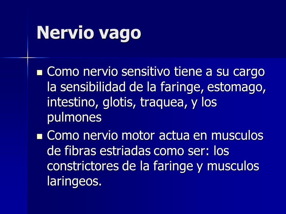 Nervio vagoComo nervio sensitivo tiene a su cargo la sensibilidad de la faringe, estomago, intestino, glotis, traquea, y los pulmones.