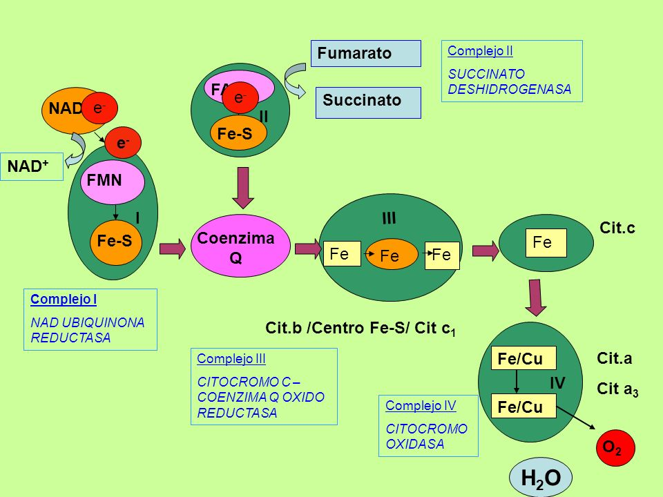H2O Fumarato FAD e- Succinato NADH e- II Fe-S e- NAD+ FMN I III Cit.c
