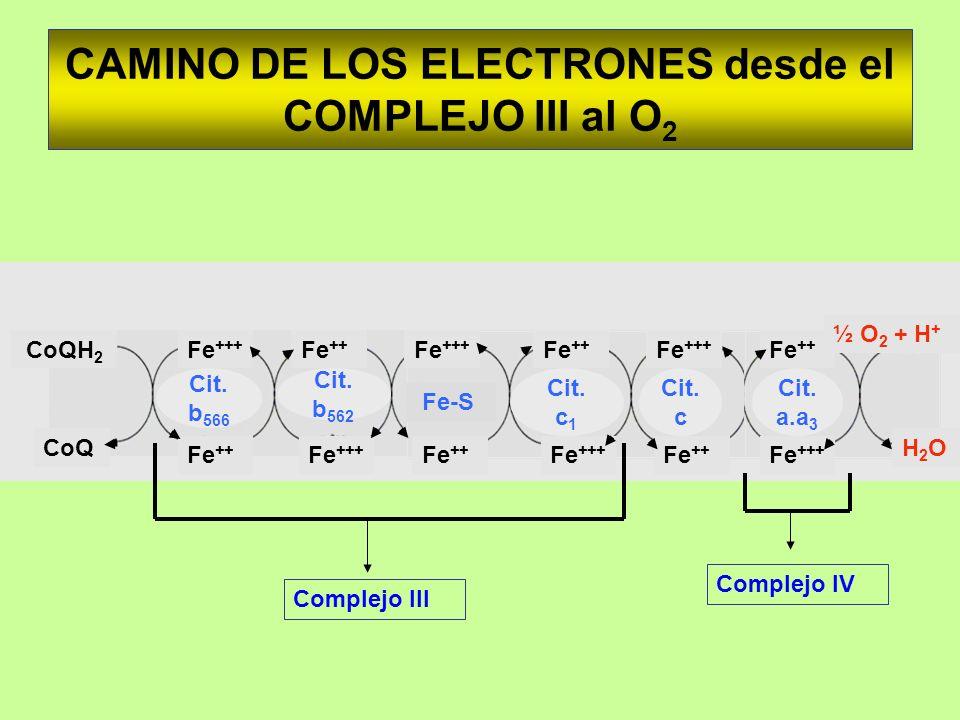 CAMINO DE LOS ELECTRONES desde el COMPLEJO III al O2