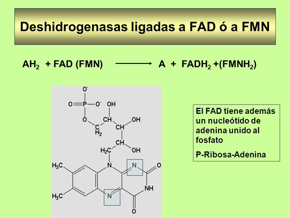 Deshidrogenasas ligadas a FAD ó a FMN