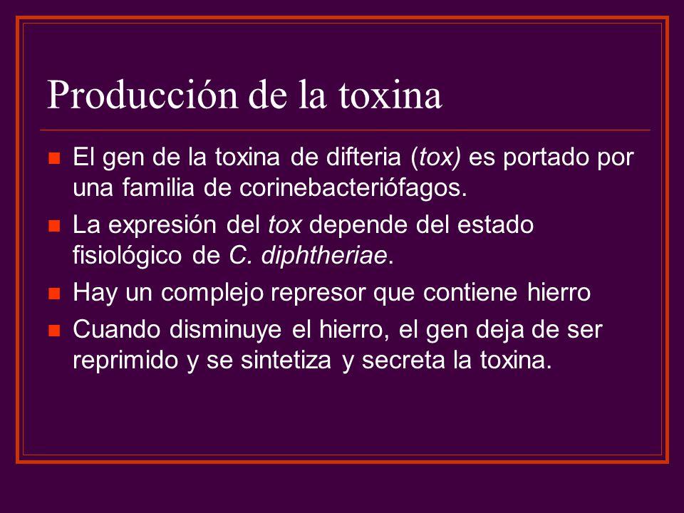 Producción de la toxina