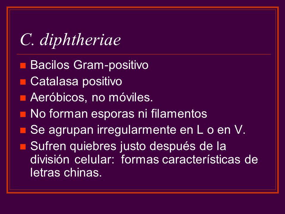 C. diphtheriae Bacilos Gram-positivo Catalasa positivo