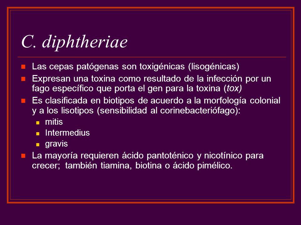 C. diphtheriae Las cepas patógenas son toxigénicas (lisogénicas)