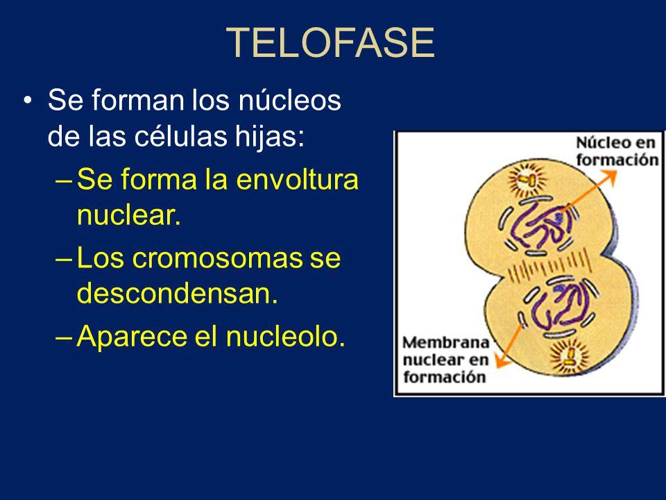 TELOFASE Se forman los núcleos de las células hijas: