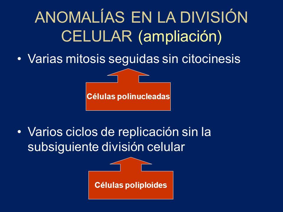Células polinucleadas