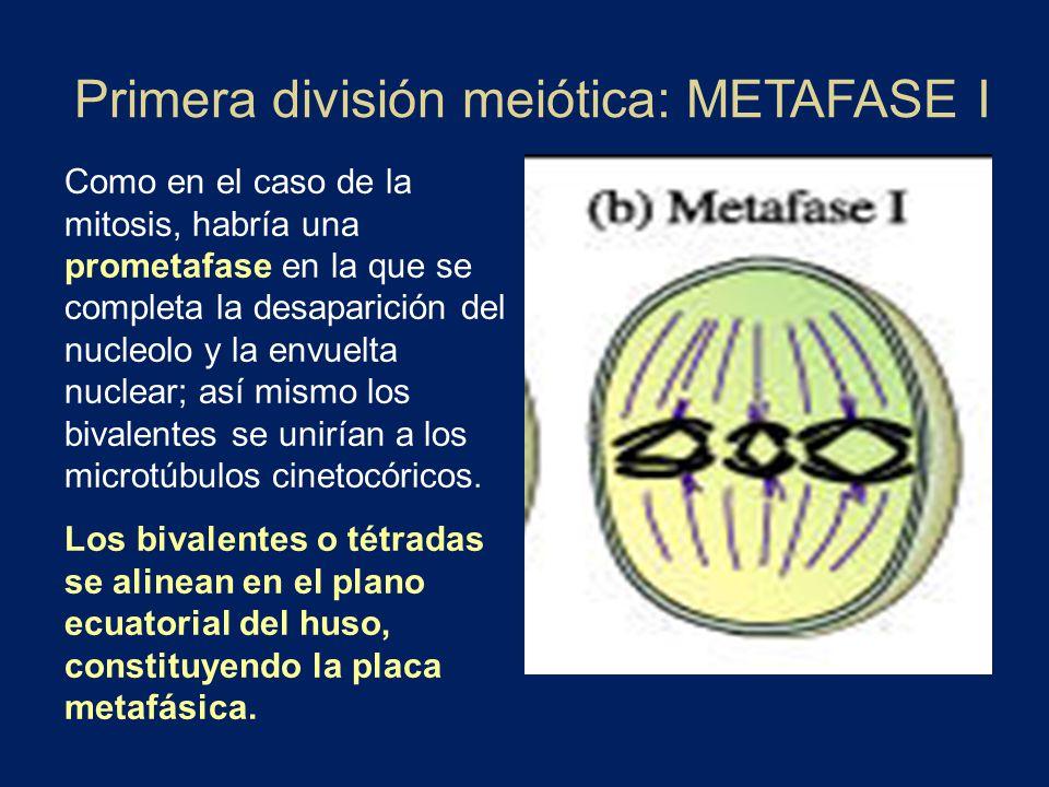 Primera división meiótica: METAFASE I