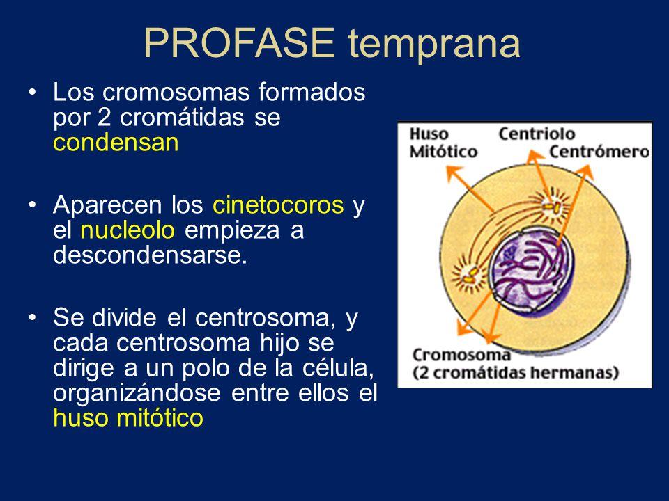 PROFASE temprana Los cromosomas formados por 2 cromátidas se condensan