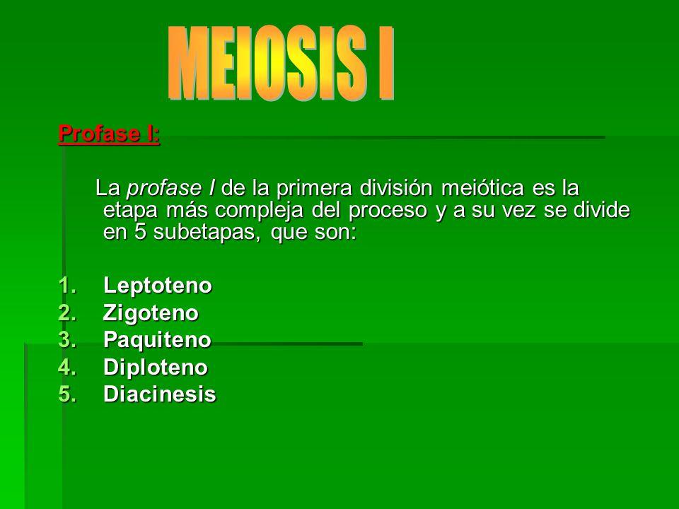 MEIOSIS I Profase I: La profase I de la primera división meiótica es la etapa más compleja del proceso y a su vez se divide en 5 subetapas, que son:
