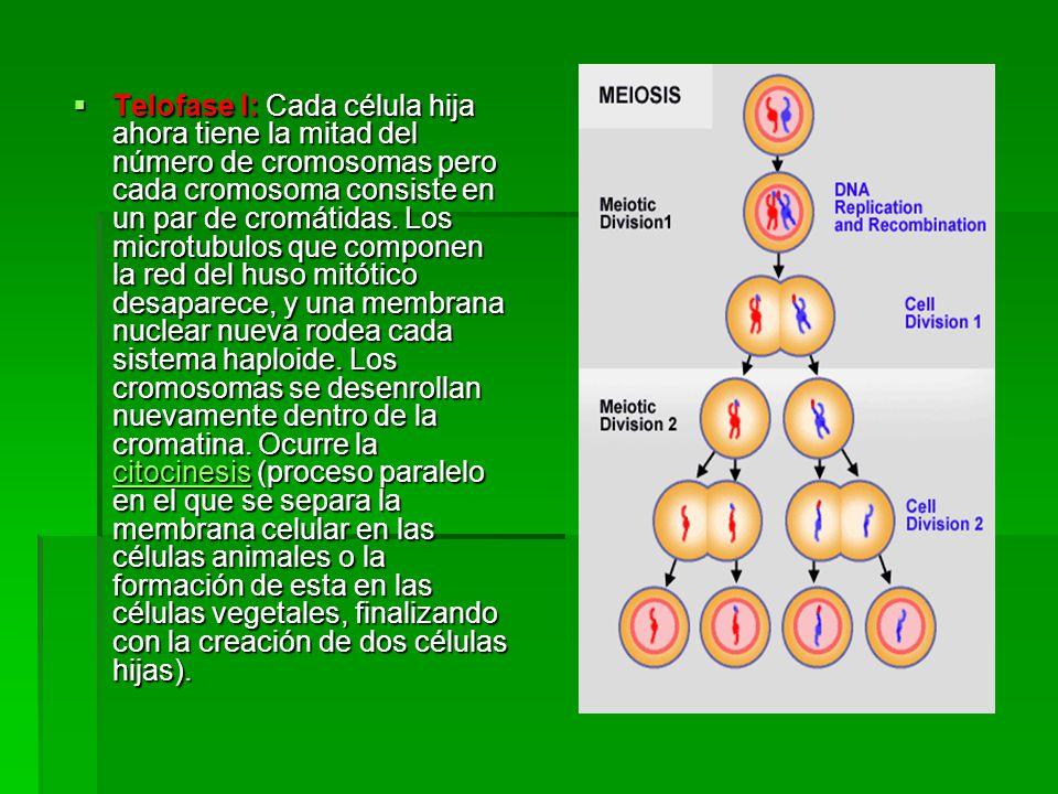 Telofase I: Cada célula hija ahora tiene la mitad del número de cromosomas pero cada cromosoma consiste en un par de cromátidas.