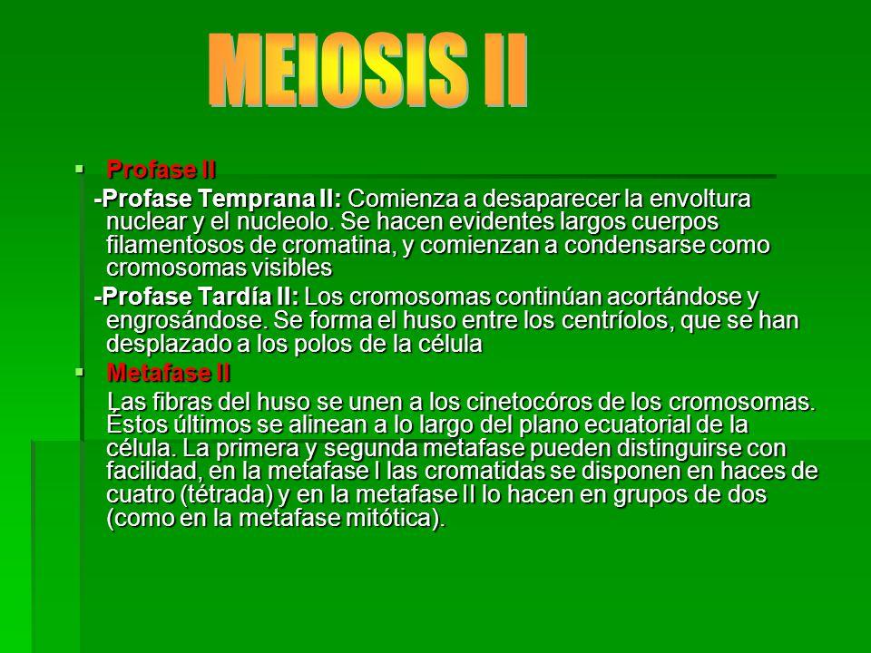 MEIOSIS II Profase II.