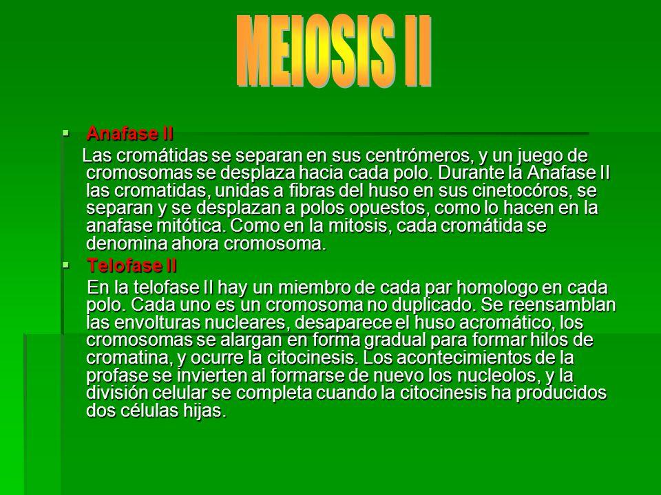 MEIOSIS II Anafase II.