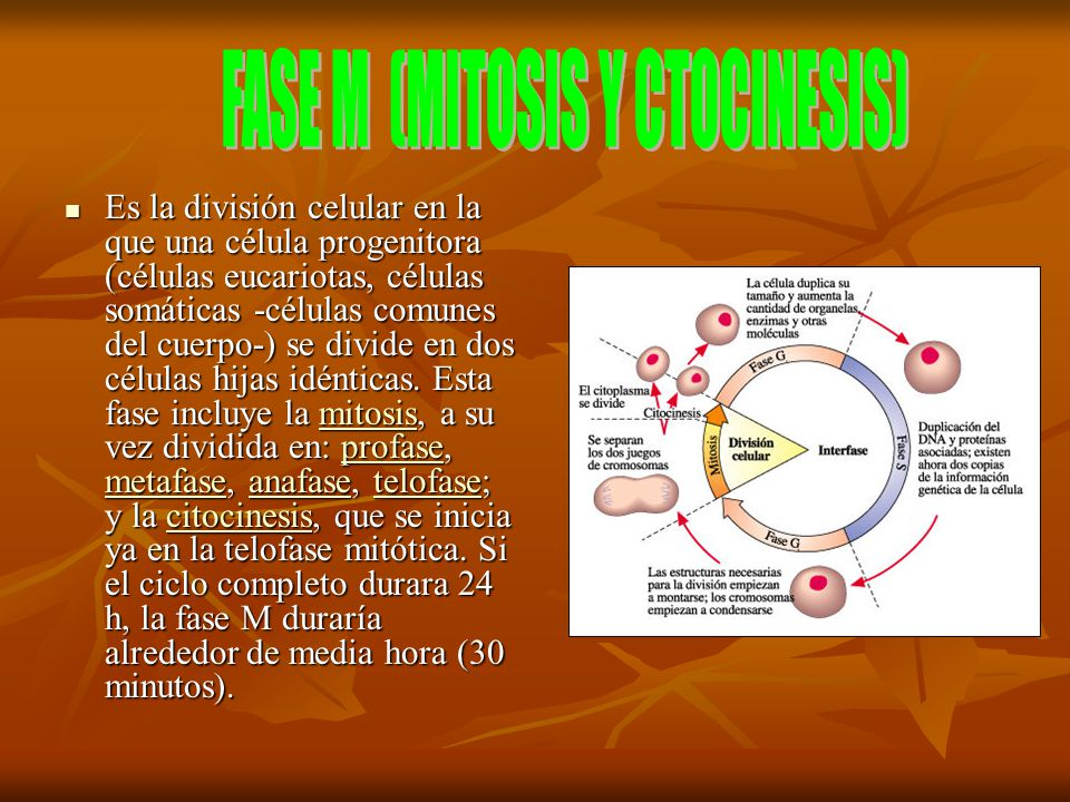 FASE M (MITOSIS Y CTOCINESIS)