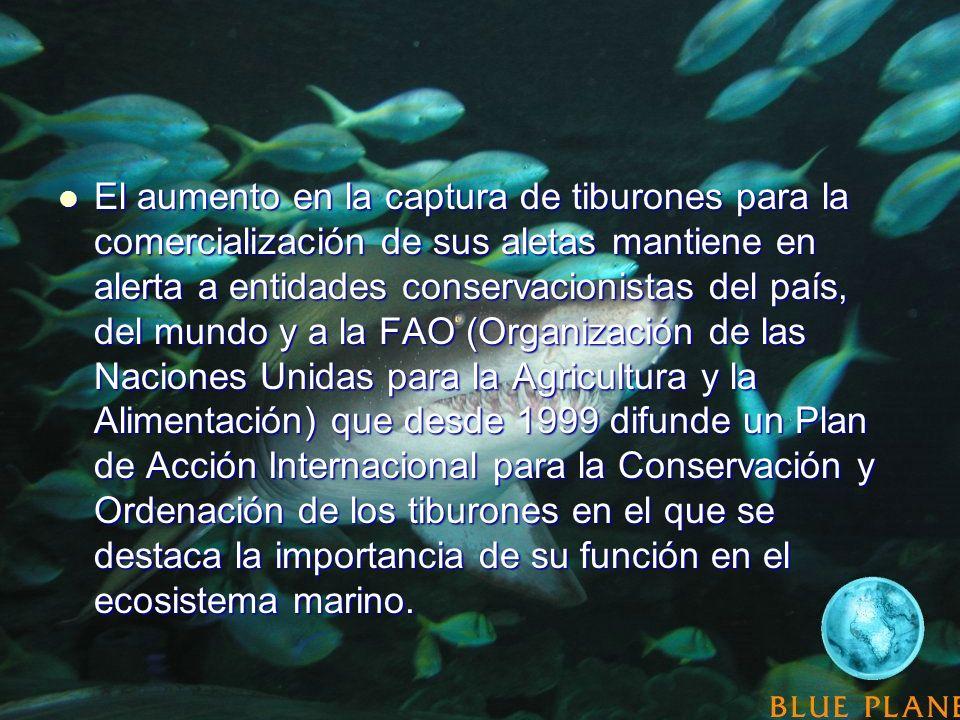 El aumento en la captura de tiburones para la comercialización de sus aletas mantiene en alerta a entidades conservacionistas del país, del mundo y a la FAO (Organización de las Naciones Unidas para la Agricultura y la Alimentación) que desde 1999 difunde un Plan de Acción Internacional para la Conservación y Ordenación de los tiburones en el que se destaca la importancia de su función en el ecosistema marino.