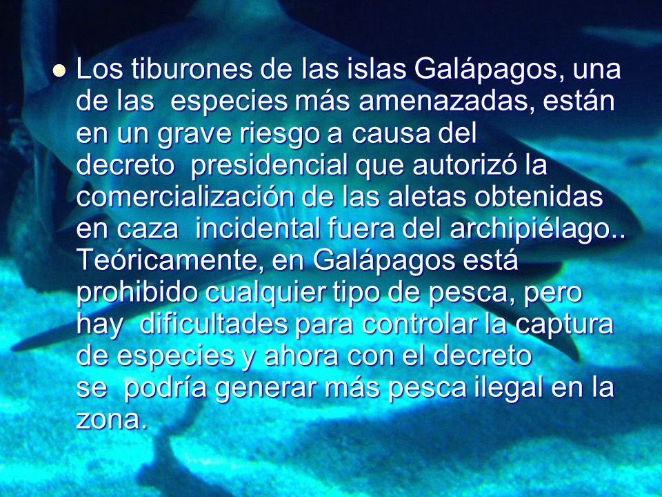Los tiburones de las islas Galápagos, una de las especies más amenazadas, están en un grave riesgo a causa del decreto presidencial que autorizó la comercialización de las aletas obtenidas en caza incidental fuera del archipiélago..