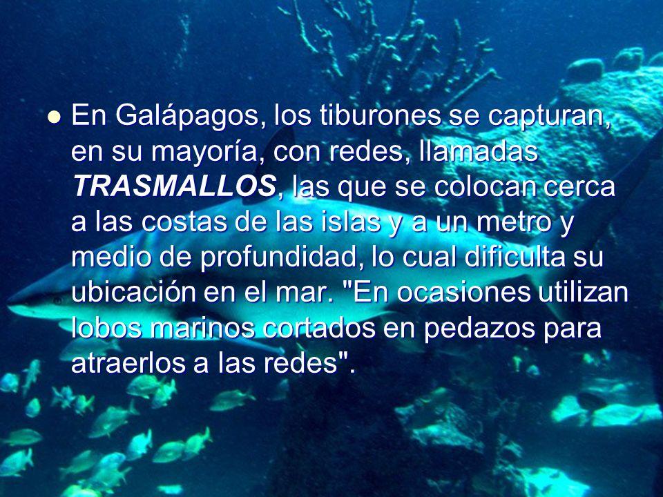 En Galápagos, los tiburones se capturan, en su mayoría, con redes, llamadas TRASMALLOS, las que se colocan cerca a las costas de las islas y a un metro y medio de profundidad, lo cual dificulta su ubicación en el mar.
