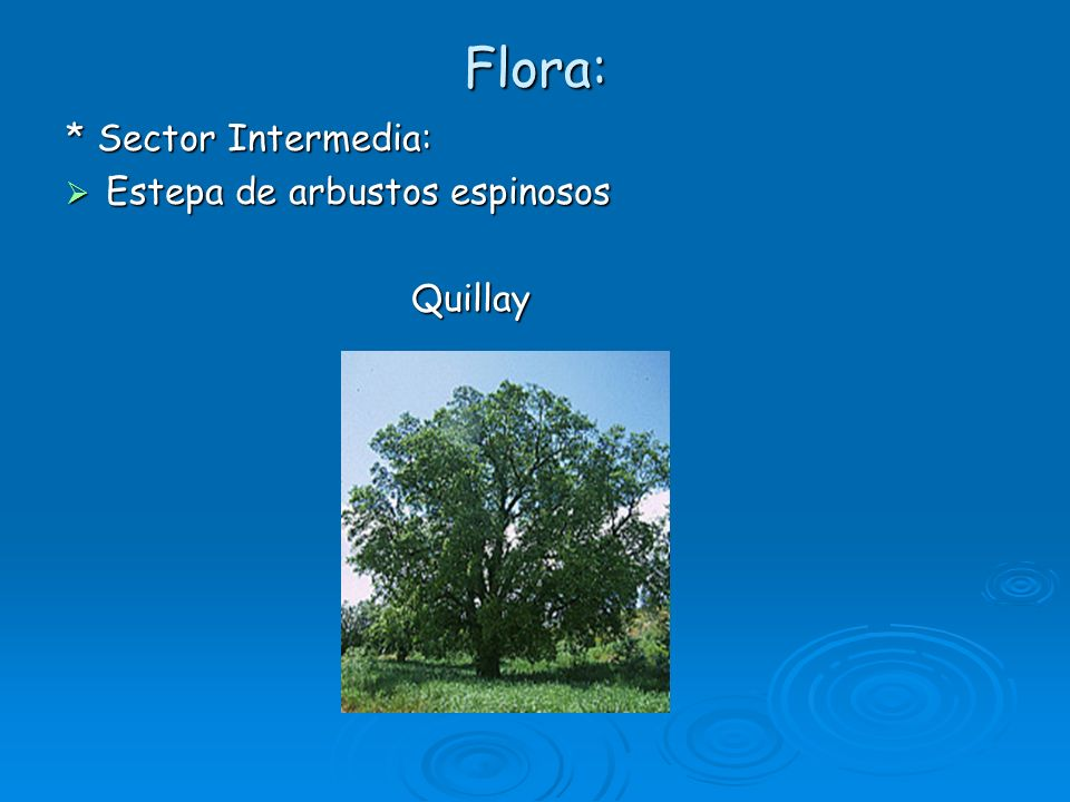 Flora: * Sector Intermedia: Estepa de arbustos espinosos Quillay