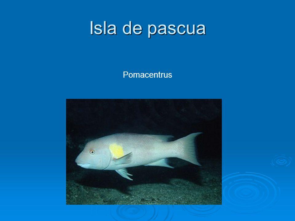 Isla de pascua Pomacentrus