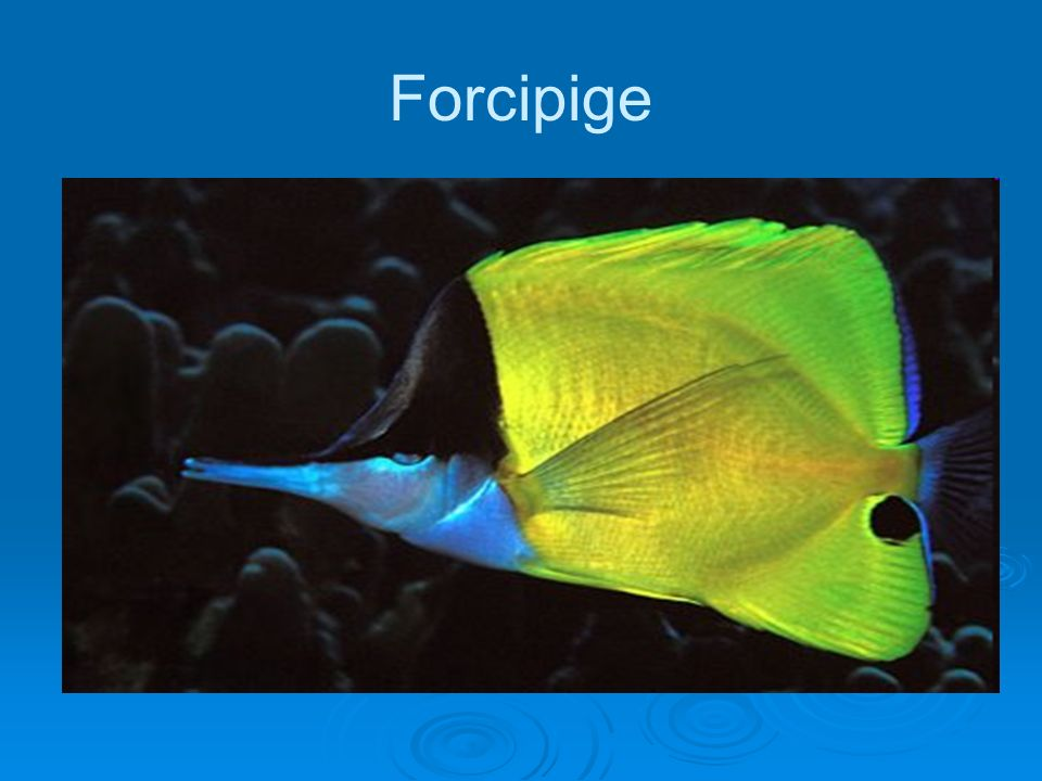 Forcipige