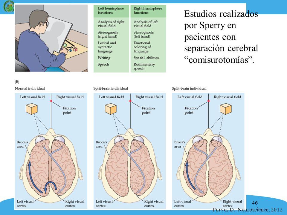 Estudios realizados por Sperry en pacientes con separación cerebral comisurotomías .