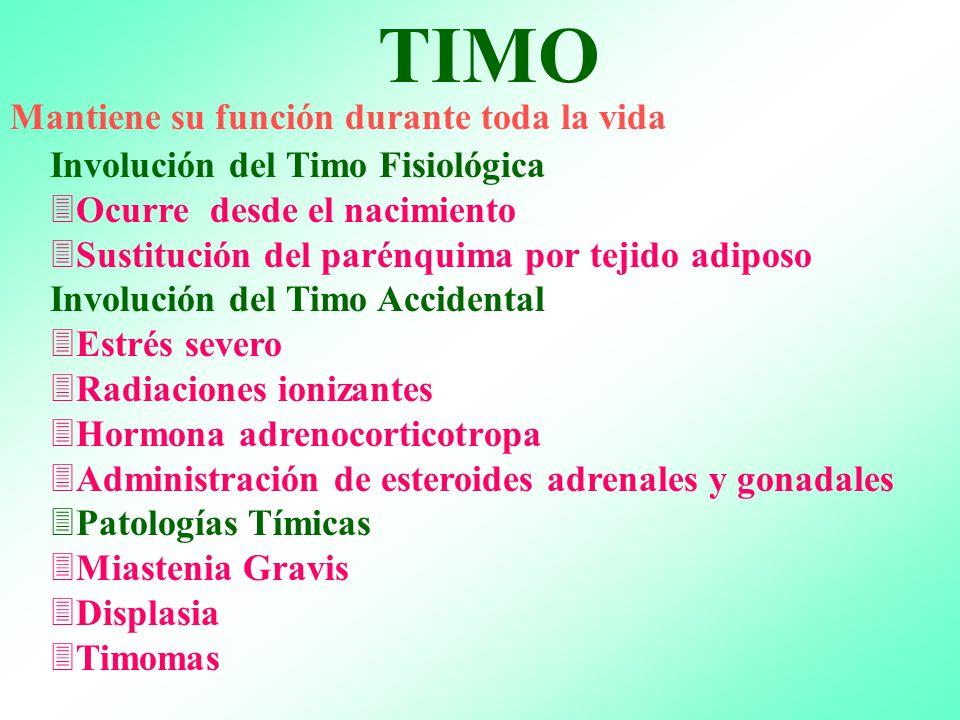 Moderno La Función Del Timo Inspiración - Anatomía de Las ...