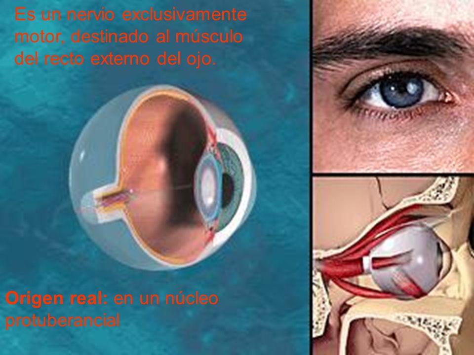Es un nervio exclusivamente motor, destinado al músculo del recto externo del ojo.