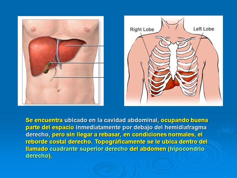Se encuentra ubicado en la cavidad abdominal, ocupando buena parte del espacio inmediatamente por debajo del hemidiafragma derecho, pero sin llegar a rebasar, en condiciones normales, el reborde costal derecho.