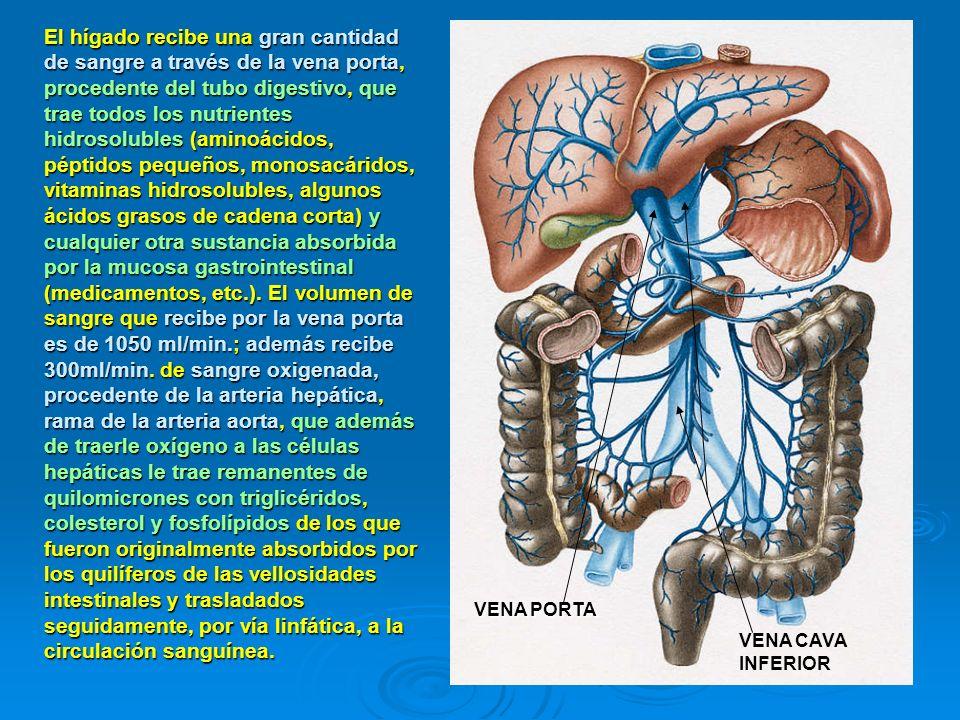 El hígado recibe una gran cantidad de sangre a través de la vena porta, procedente del tubo digestivo, que trae todos los nutrientes hidrosolubles (aminoácidos, péptidos pequeños, monosacáridos, vitaminas hidrosolubles, algunos ácidos grasos de cadena corta) y cualquier otra sustancia absorbida por la mucosa gastrointestinal (medicamentos, etc.). El volumen de sangre que recibe por la vena porta es de 1050 ml/min.; además recibe 300ml/min. de sangre oxigenada, procedente de la arteria hepática, rama de la arteria aorta, que además de traerle oxígeno a las células hepáticas le trae remanentes de quilomicrones con triglicéridos, colesterol y fosfolípidos de los que fueron originalmente absorbidos por los quilíferos de las vellosidades intestinales y trasladados seguidamente, por vía linfática, a la circulación sanguínea.