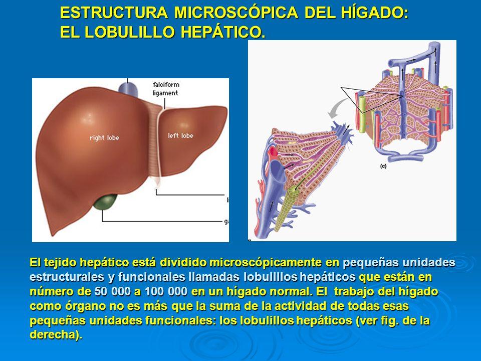 ESTRUCTURA MICROSCÓPICA DEL HÍGADO: EL LOBULILLO HEPÁTICO.