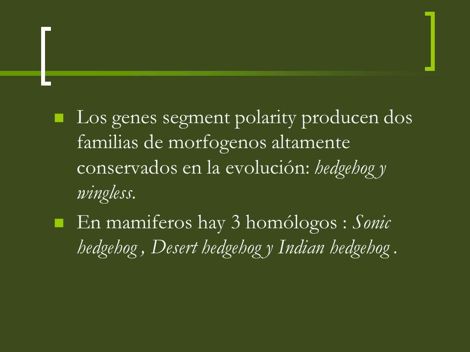 Los genes segment polarity producen dos familias de morfogenos altamente conservados en la evolución: hedgehog y wingless.