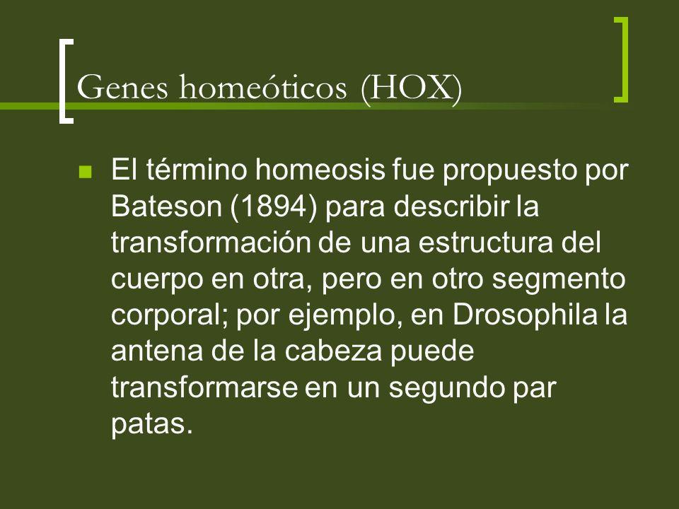 Genes homeóticos (HOX)