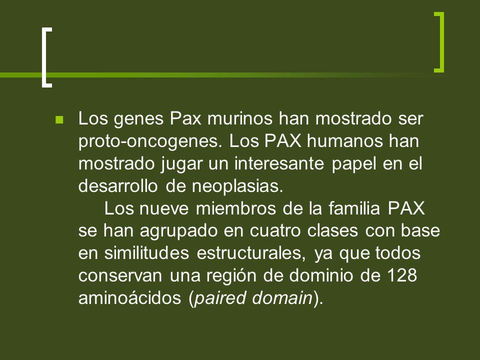 Los genes Pax murinos han mostrado ser proto-oncogenes