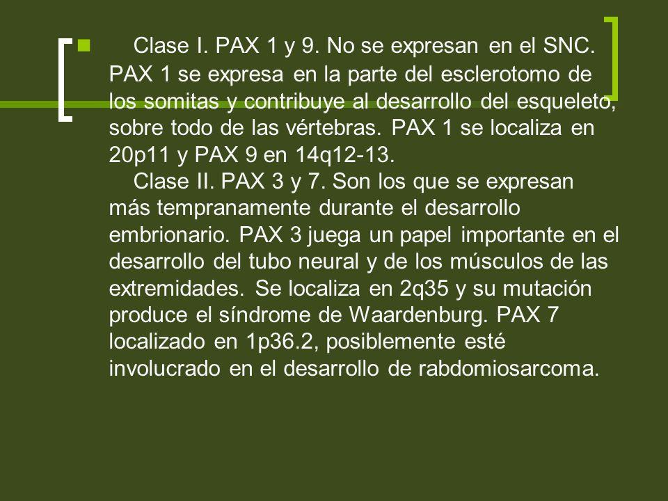 Clase I. PAX 1 y 9. No se expresan en el SNC