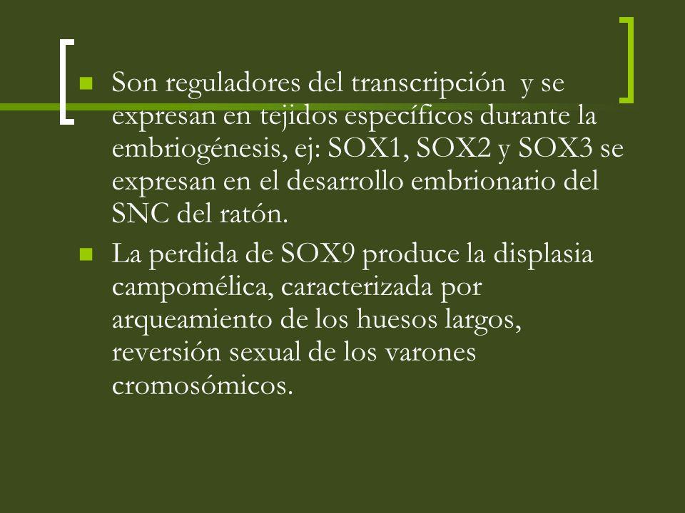 Son reguladores del transcripción y se expresan en tejidos específicos durante la embriogénesis, ej: SOX1, SOX2 y SOX3 se expresan en el desarrollo embrionario del SNC del ratón.