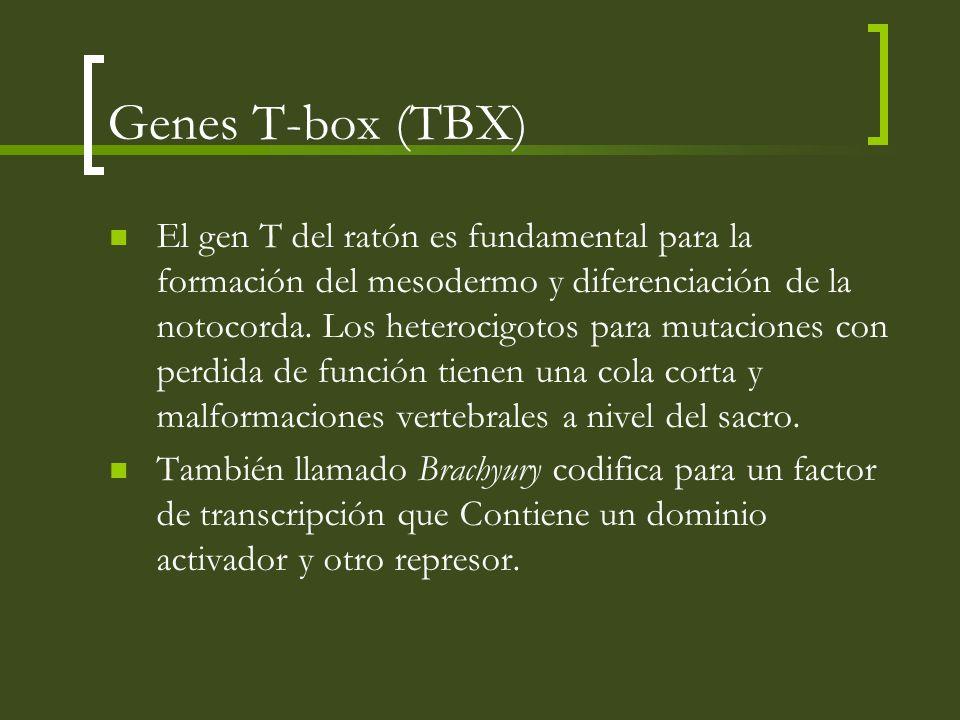 Genes T-box (TBX)