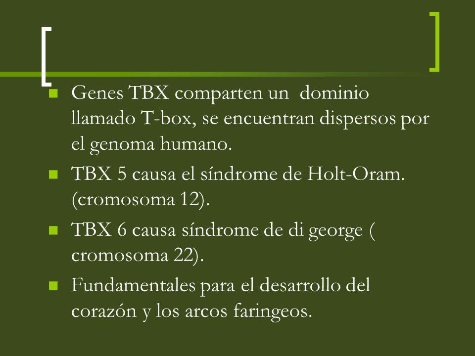 Genes TBX comparten un dominio llamado T-box, se encuentran dispersos por el genoma humano.