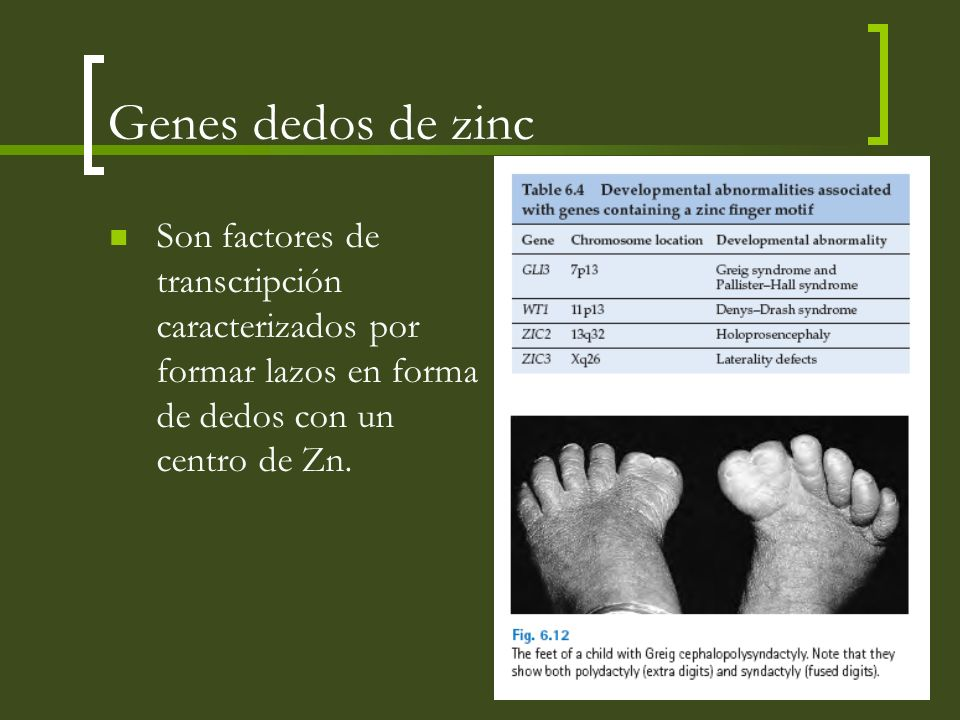 Genes dedos de zinc Son factores de transcripción caracterizados por formar lazos en forma de dedos con un centro de Zn.