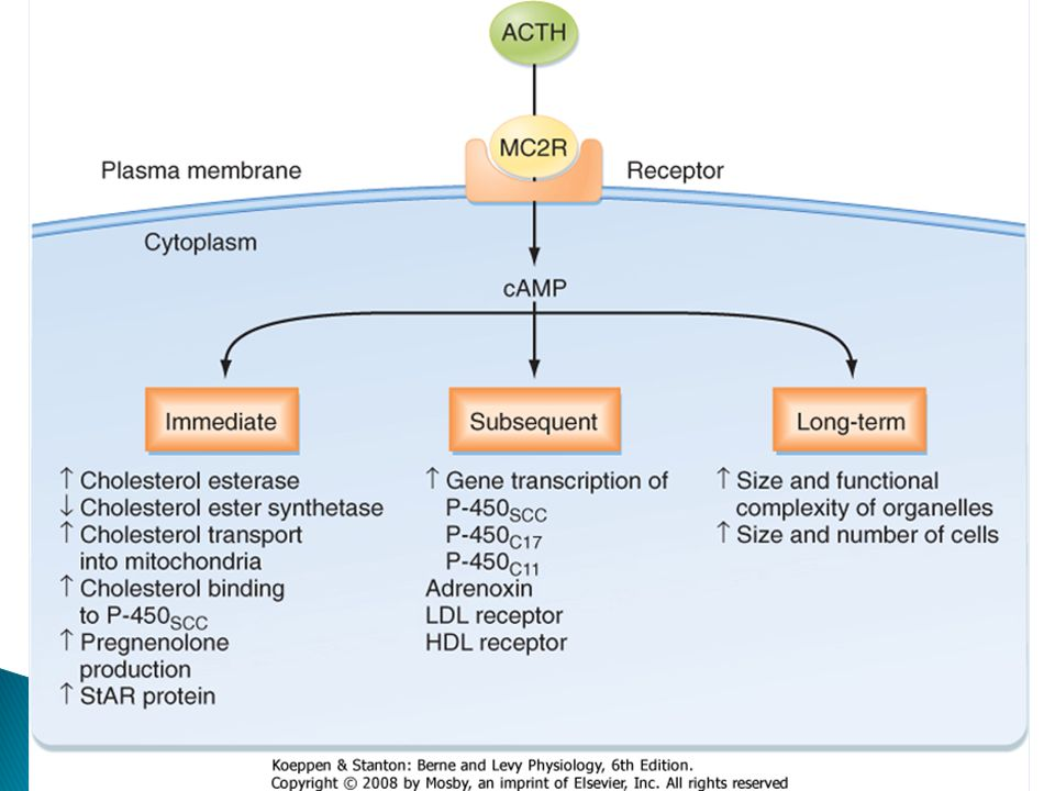 Figure 42-12 Overview of the actions of ACTH on target adrenocortical cells. Note that the major second messenger, cAMP, activates immediate protein mediators and also induces the production of later protein mediators. HDL, high-density lipoprotein; LDL, low-density lipoprotein.