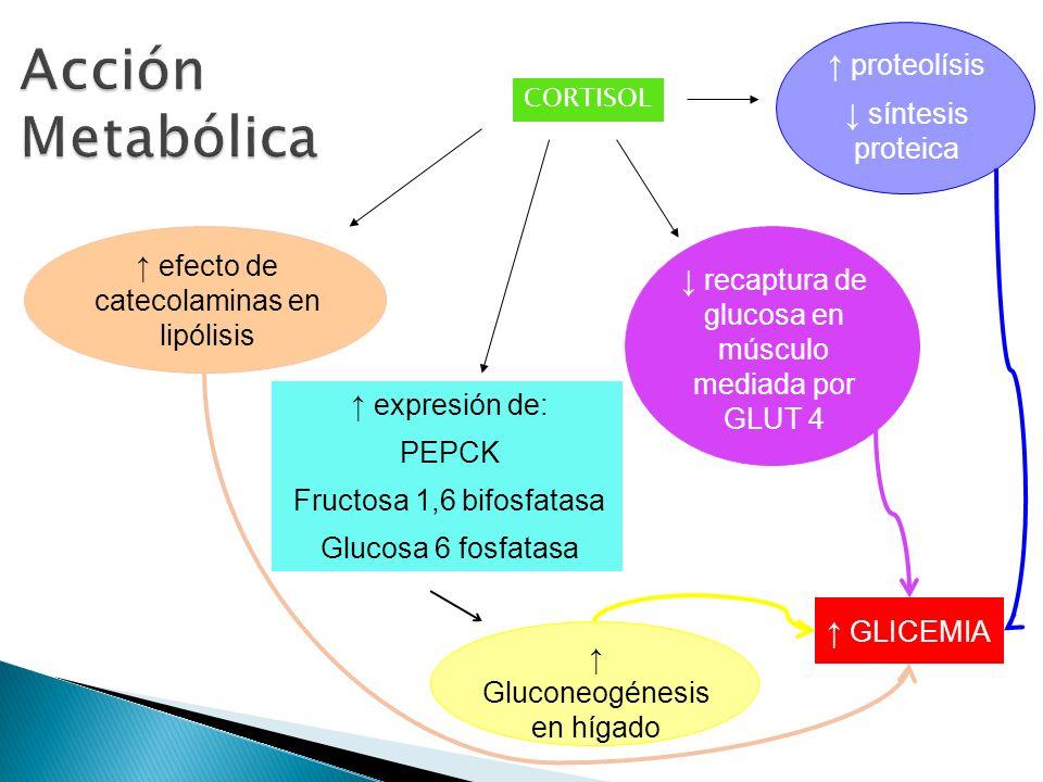 Acción Metabólica ↑ proteolísis ↓ síntesis proteica