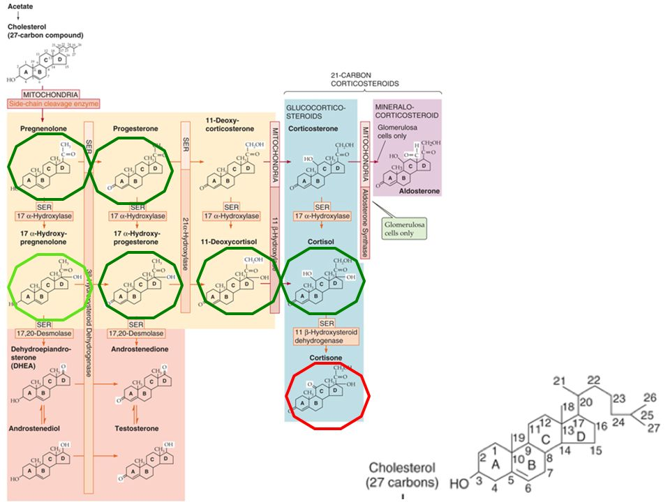 Figure Biosynthesis of adrenal steroids