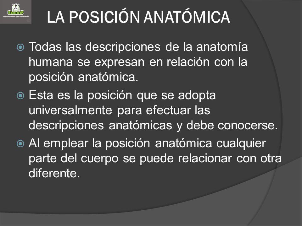 LA POSICIÓN ANATÓMICA Todas las descripciones de la anatomía humana se expresan en relación con la posición anatómica.
