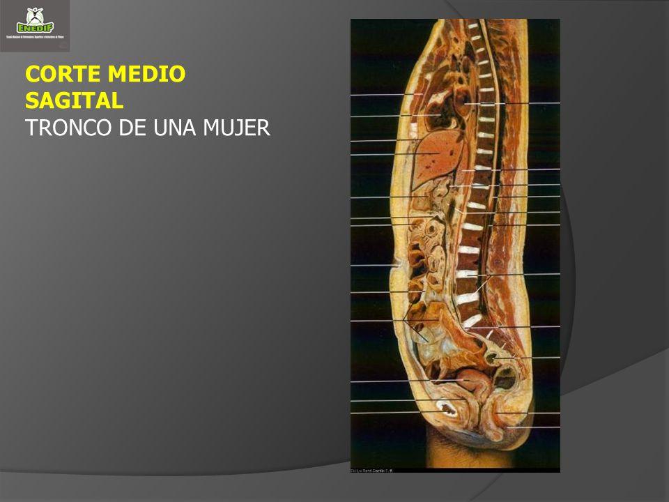 CORTE MEDIO SAGITAL TRONCO DE UNA MUJER
